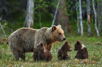 mama-bear-and-three-cubs-mural-wallpaper